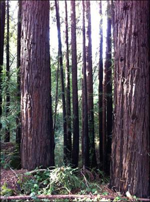santa-cruz-woods